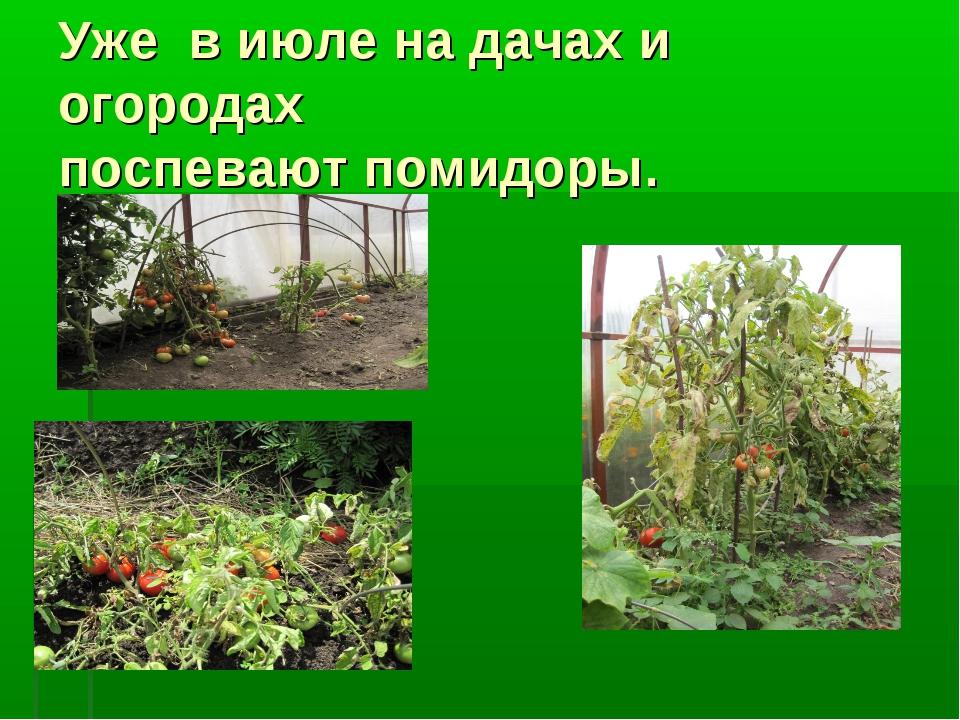 Уже в июле на дачах и огородах поспевают помидоры.