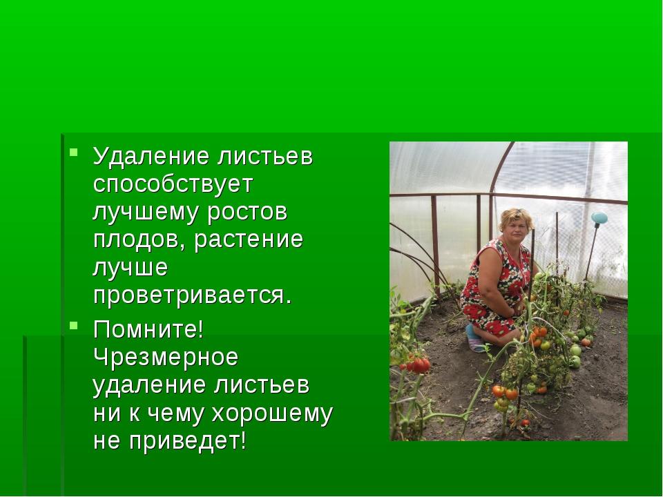 Удаление листьев способствует лучшему ростов плодов, растение лучше проветрив...