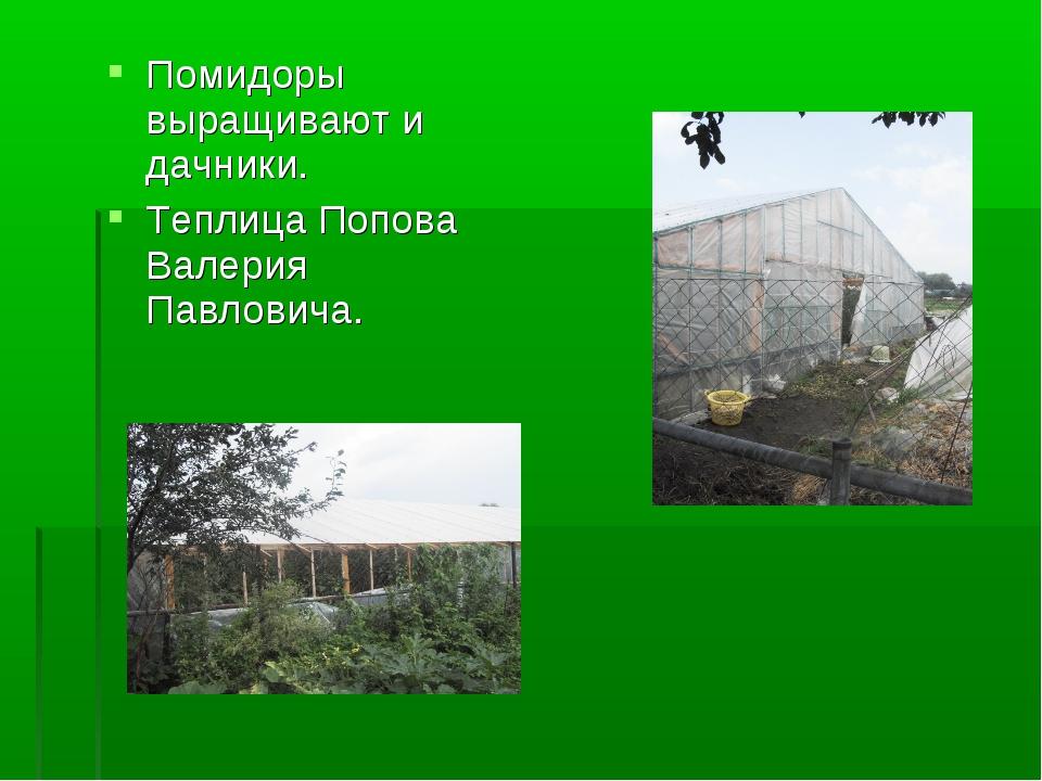 Помидоры выращивают и дачники. Теплица Попова Валерия Павловича.