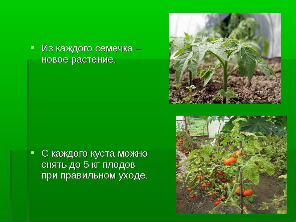 Из каждого семечка – новое растение. С каждого куста можно снять до 5 кг плод...