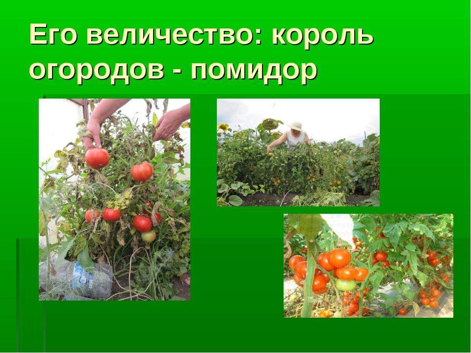 Его величество: король огородов - помидор