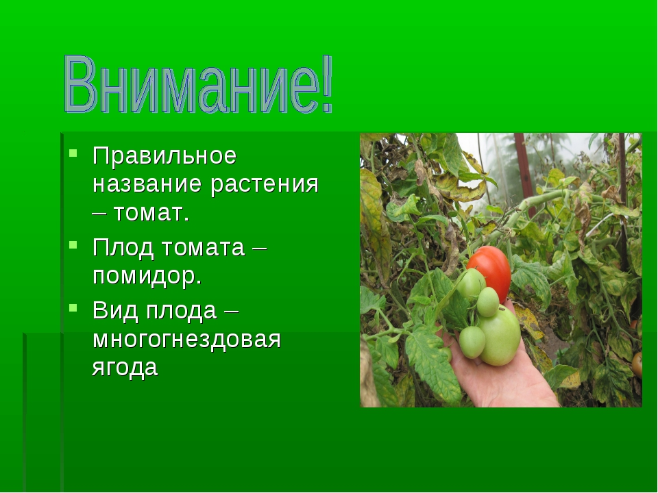 Правильное название растения – томат. Плод томата – помидор. Вид плода – мног...