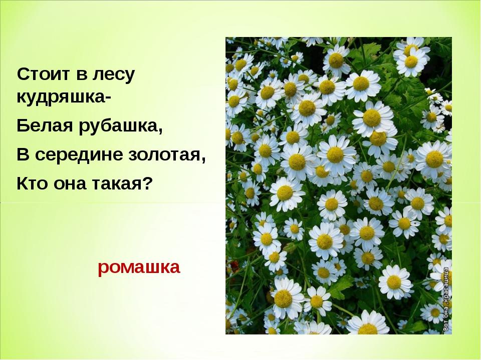 Стоит в лесу кудряшка- Белая рубашка, В середине золотая, Кто она такая? рома...