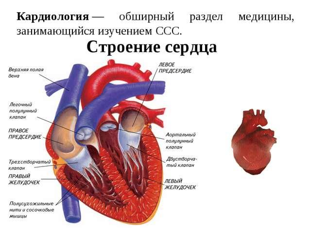 Кардиология— обширный раздел медицины, занимающийся изучением ССС. Строение...