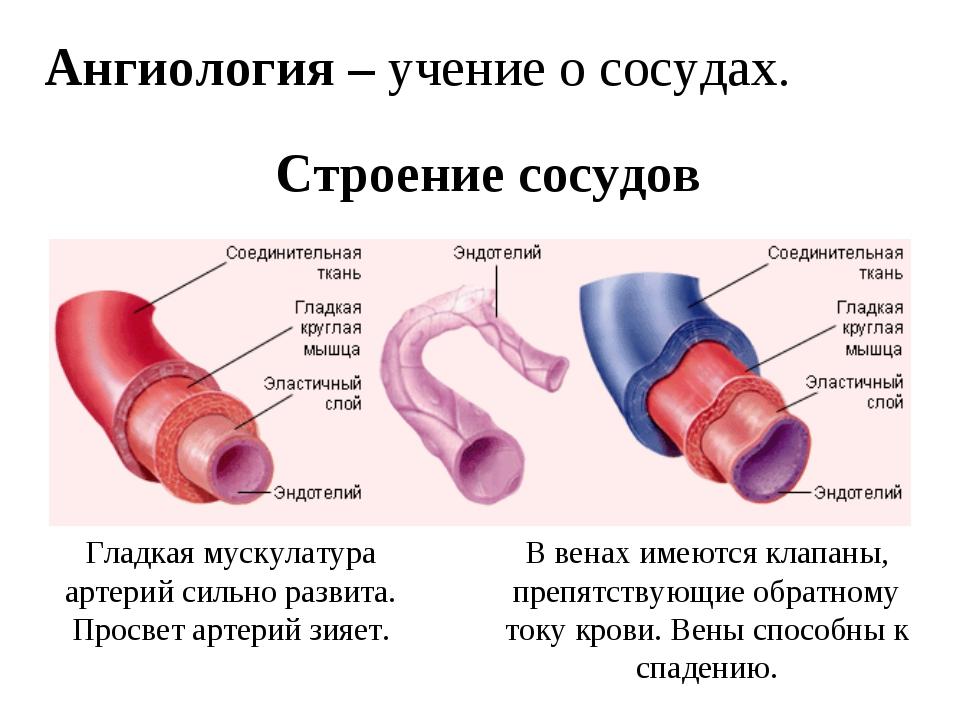 Ангиология – учение о сосудах. Строение сосудов Гладкая мускулатура артерий с...
