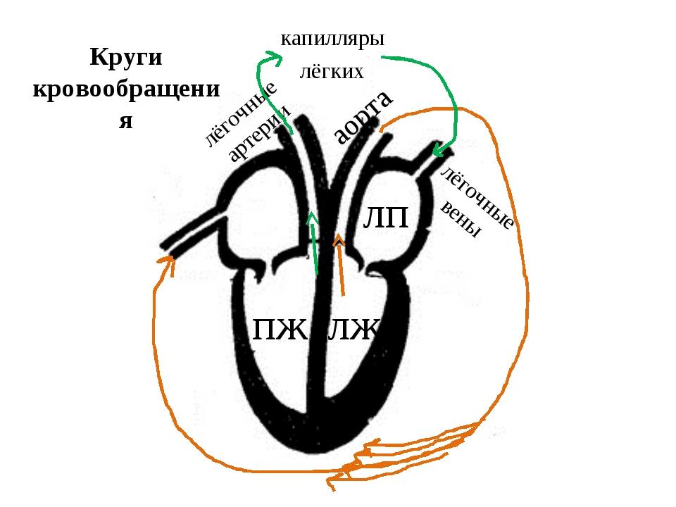 лж лёгочные артерии Круги кровообращения пж аорта капилляры лёгких лёгочные в...