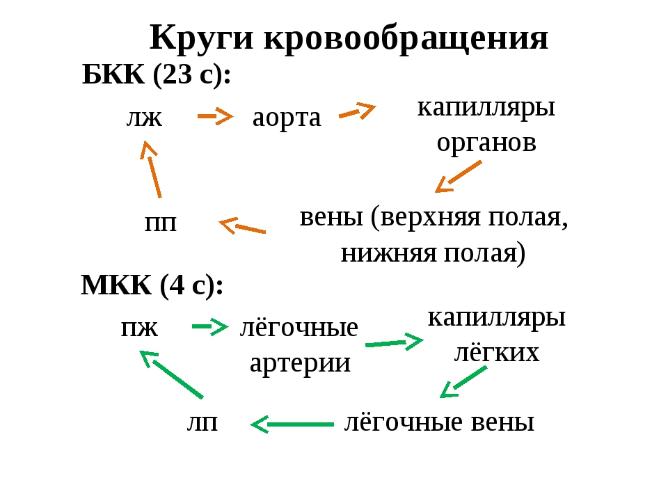 Круги кровообращения БКК (23 с): лж аорта капилляры органов вены (верхняя пол...