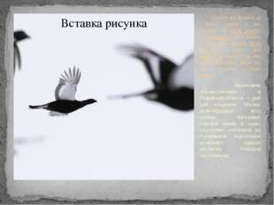 Polistovsky Reserve in Pskov region is the paradise for black grouse. The ab