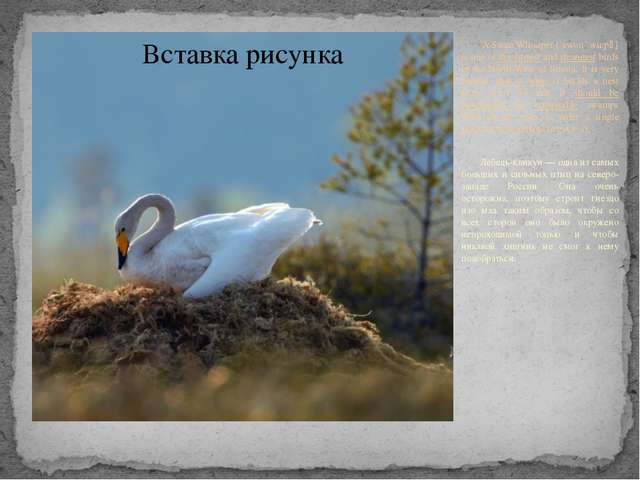 A Swan Whooper [`swon `wu:pә] is one of the largest and strongest birds in t...