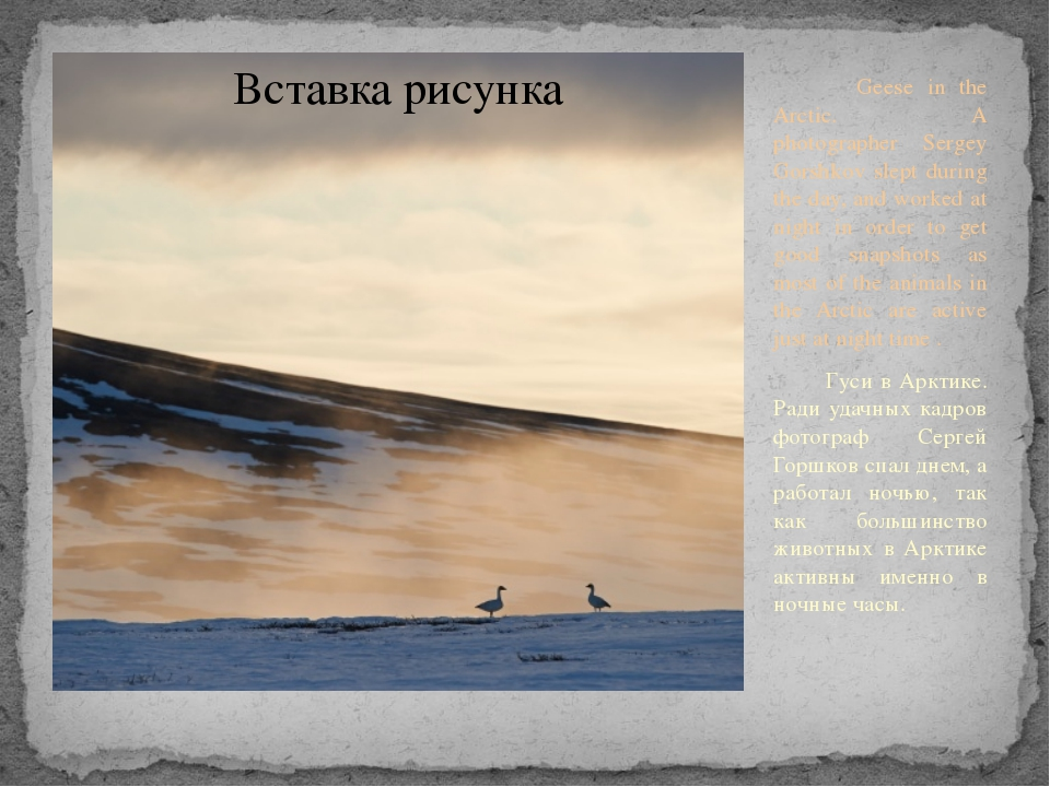 Geese in the Arctic. A photographer Sergey Gorshkov slept during the day, an...