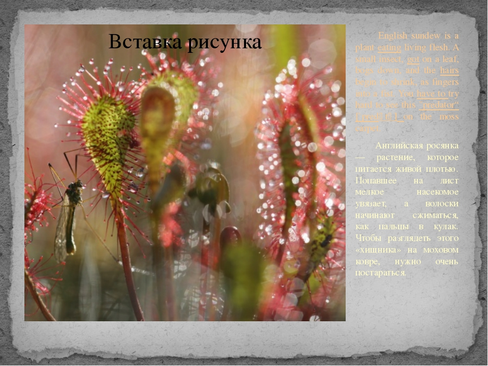 English sundew is a plant eating living flesh. A small insect, got on a leaf...