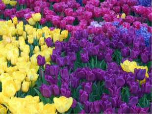 На Руси дикие виды тюльпанов были известны ещё в XII веке, но луковицы сортов