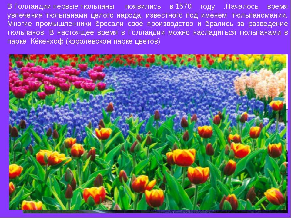 ВГолландиипервыетюльпаны появились в1570 году .Началось время увлечения...