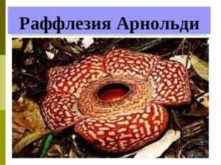 Раффлезия Арнольди