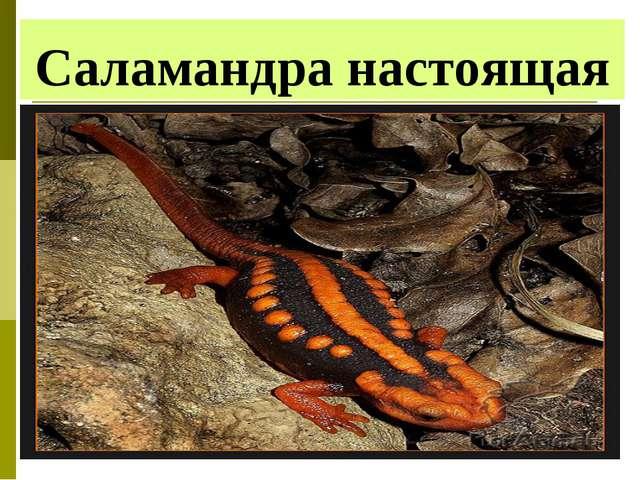 Саламандра настоящая