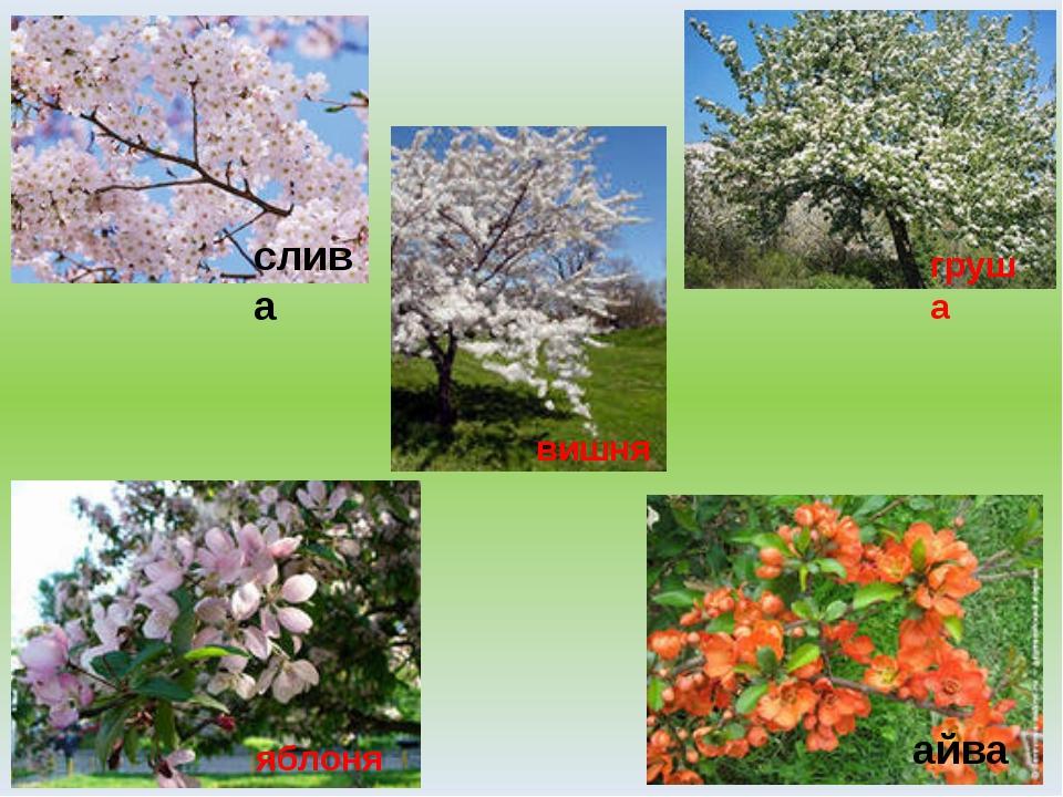 слива яблоня айва вишня груша
