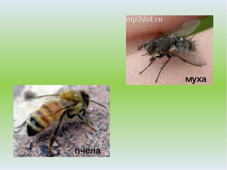 пчела муха