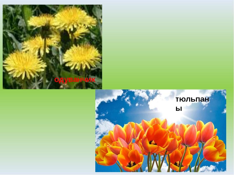 одуванчик тюльпаны