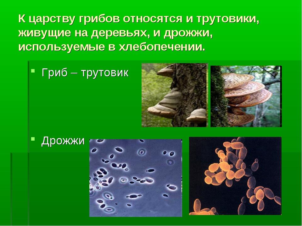 К царству грибов относятся и трутовики, живущие на деревьях, и дрожжи, исполь...