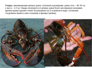 Омары, напоминающие речных раков, отличаются размерами: длина тела – 40–50 см