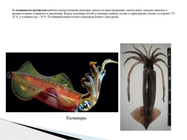 Из головоногих моллюсков наиболее распространены кальмары, запасы которых пре...