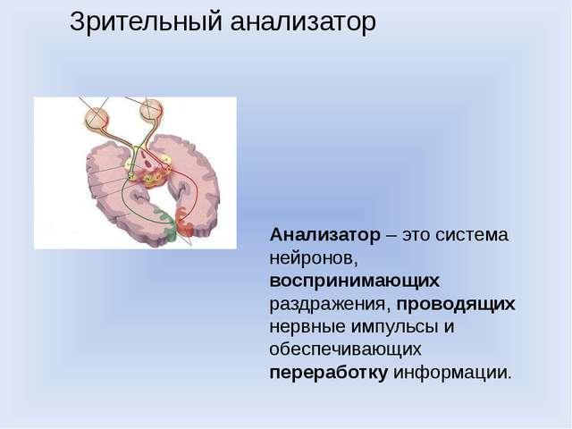 Зрительный анализатор Анализатор–этосистема нейронов, воспринимающих раздр...