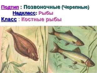 Подтип : Позвоночные (Черепные) Надкласс: Рыбы Класс : Костные рыбы