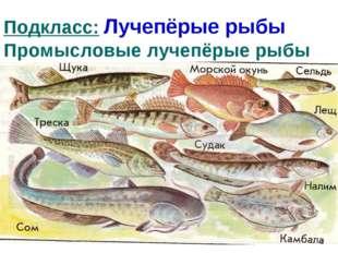 Подкласс: Лучепёрые рыбы Промысловые лучепёрые рыбы