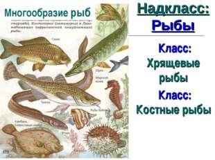Надкласс: Рыбы Класс: Хрящевые рыбы Класс: Костные рыбы Многообразие рыб
