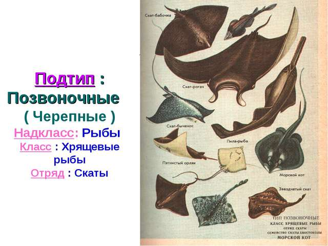 Подтип : Позвоночные ( Черепные ) Надкласс: Рыбы Класс : Хрящевые рыбы Отряд...