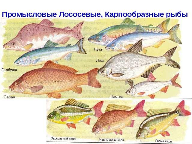 Промысловые Лососевые, Карпообразные рыбы