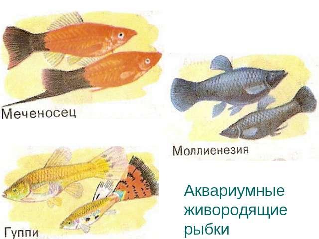 Аквариумные живородящие рыбки