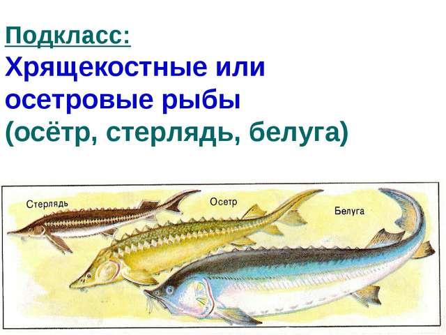Подкласс: Хрящекостные или осетровые рыбы (осётр, стерлядь, белуга)