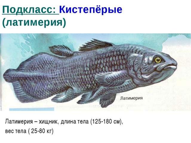 Подкласс: Кистепёрые (латимерия) Латимерия – хищник, длина тела (125-180 см),...