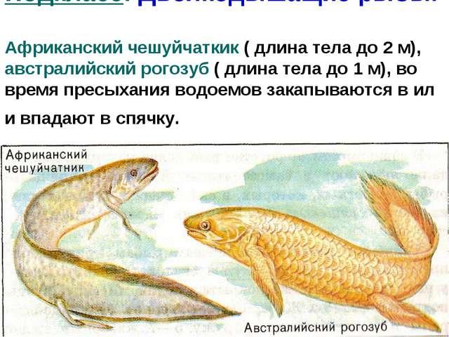 Подкласс: Двоякодышащие рыбы. Африканский чешуйчаткик ( длина тела до 2 м), а...