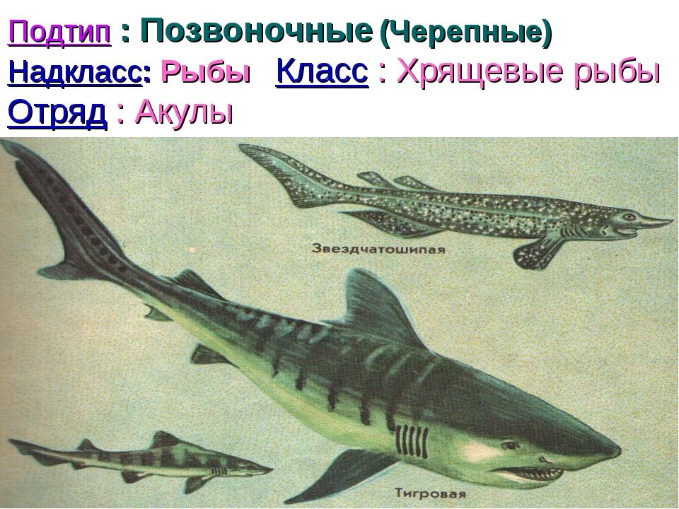 Подтип : Позвоночные (Черепные) Надкласс: Рыбы Класс : Хрящевые рыбы Отряд :...