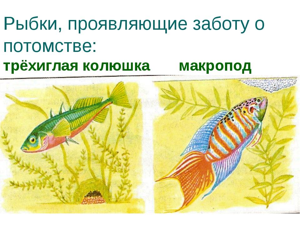 Рыбки, проявляющие заботу о потомстве: трёхиглая колюшка макропод