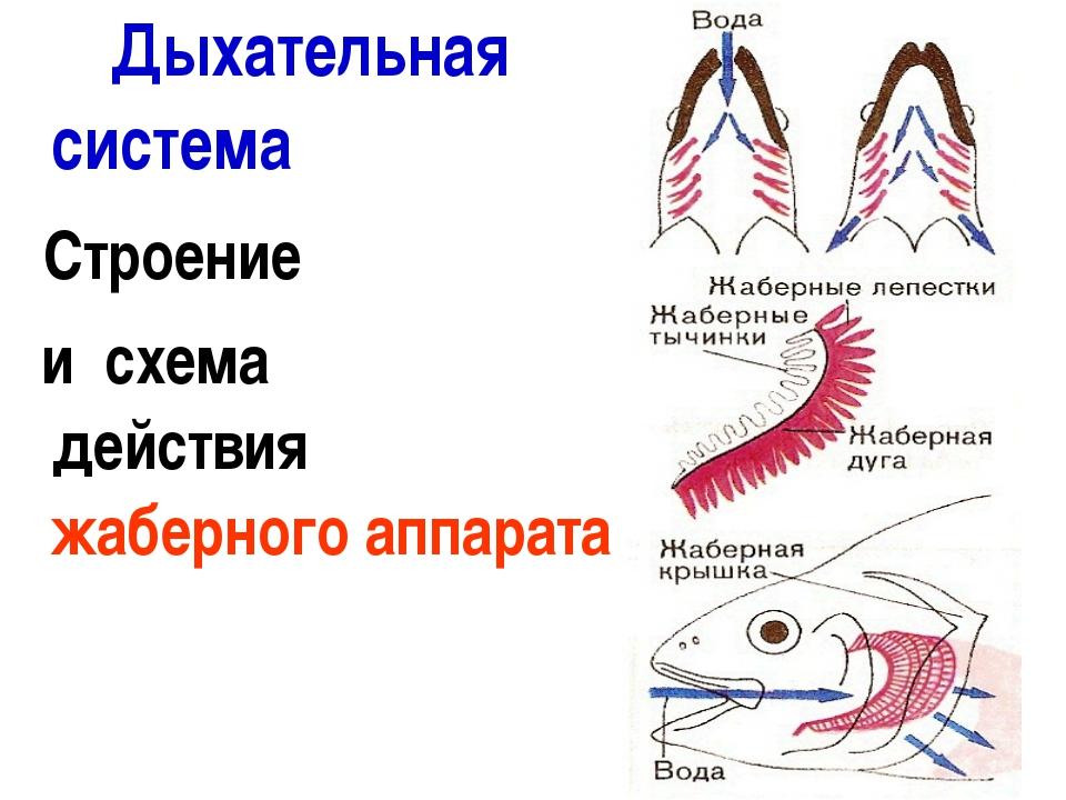 Дыхательная система Строение и схема действия жаберного аппарата