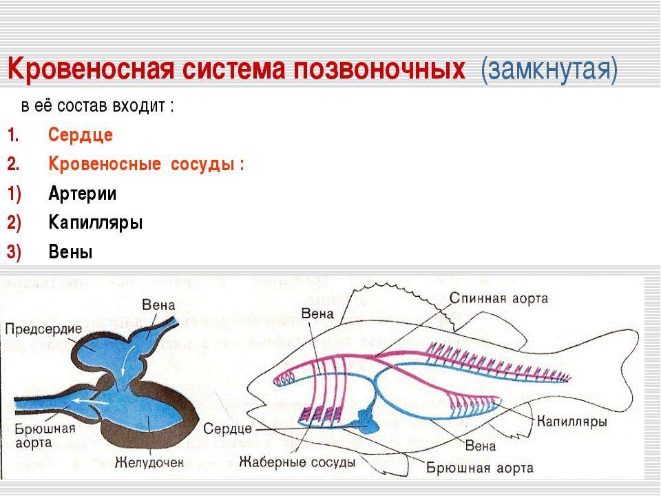 Кровеносная система позвоночных (замкнутая) в её состав входит : Сердце Крове...