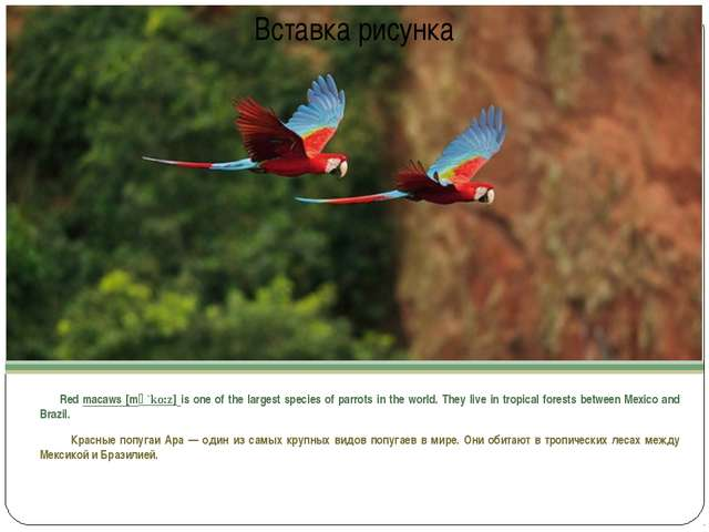 Red macaws [mә`ko:z] is one of the largest species of parrots in the world....