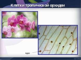 Клетки тропической орхидеи ядро