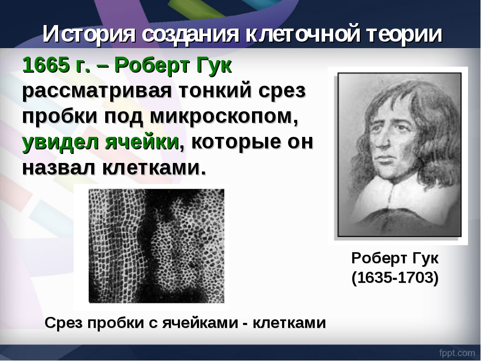 1665 г. – Роберт Гук рассматривая тонкий срез пробки под микроскопом, увидел...