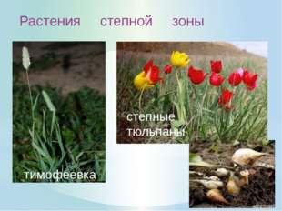 Особенности растений Степной зоны: 1. Цветут весной, пока в почве достаточно