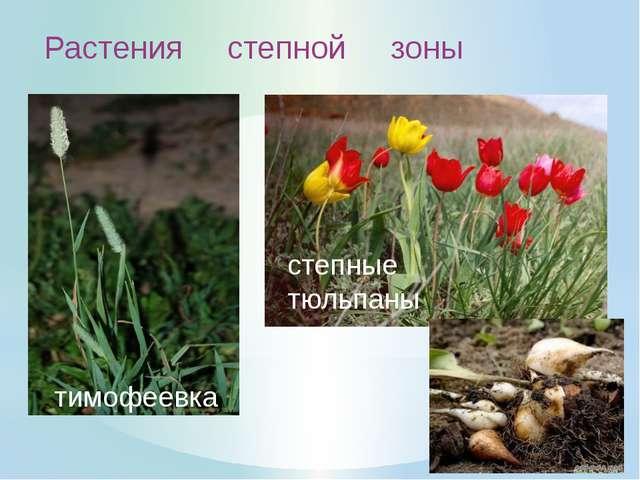 Особенности растений Степной зоны: 1. Цветут весной, пока в почве достаточно...