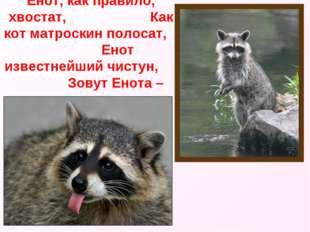 Енот, как правило, хвостат, Как кот матроскин полосат, Енот известнейший чист