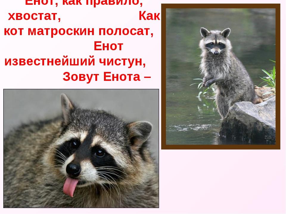 Енот, как правило, хвостат, Как кот матроскин полосат, Енот известнейший чист...