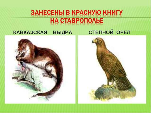 КАВКАЗСКАЯ ВЫДРА СТЕПНОЙ ОРЕЛ