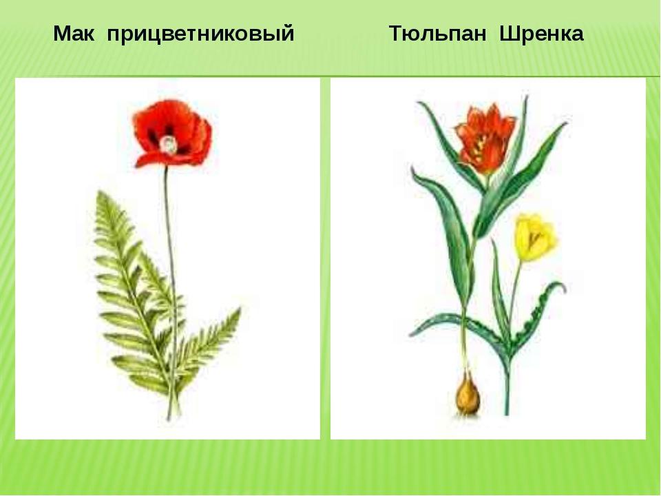 Мак прицветниковый Тюльпан Шренка