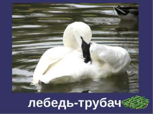 лебедь-трубач