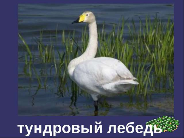 тундровый лебедь